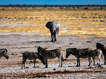 Elefant, Zebras, Namibia, Nationalpark